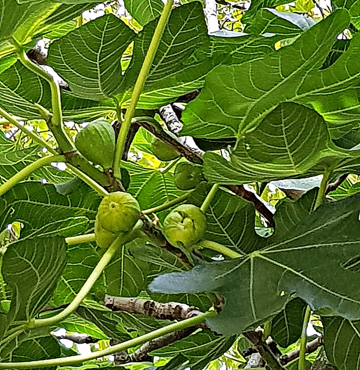 FIG SMALL