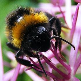 Big bee_640