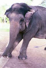 Elephant_240